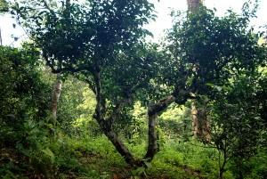organic wild puerh tea pollen tincture camellia sinensis bottle gourd herbs