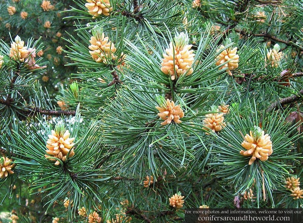 korean pine pollen songhwaju