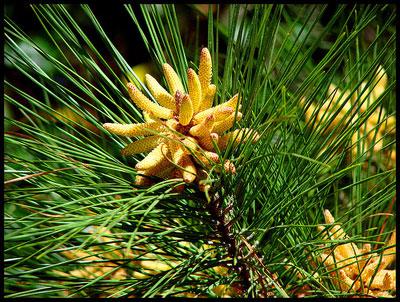 songhwaju korean pine pollen tincture bottle gourd herbs