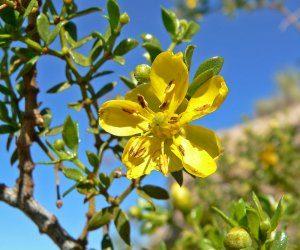 Organic Chaparral Leaf (Larrea tridentata) 4oz  – Bottle